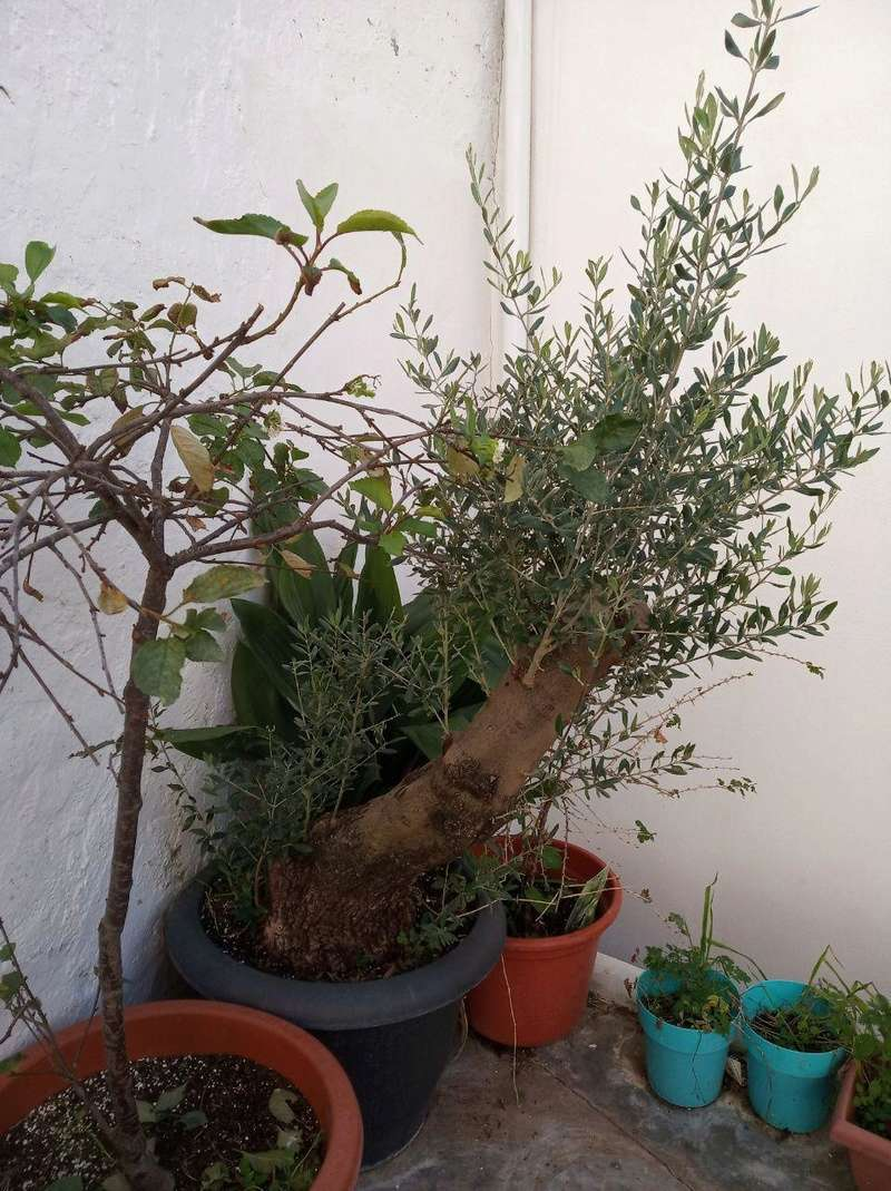 el olivito Olivit10