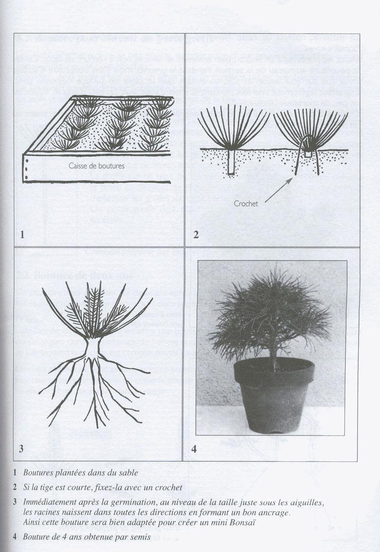 ¿Que es y por qué cortar la raíz pivotante? Esquej10