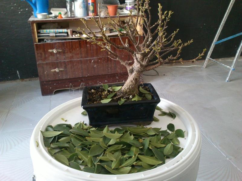 Seguimiento Ficus tigerbark (ayuda diseño) :3 Ficus_10