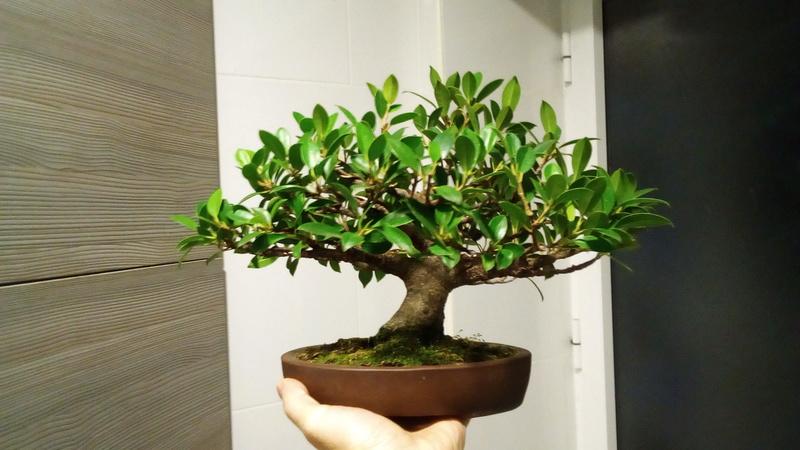 Seguimiento Ficus tigerbark (ayuda diseño) :3 Frente10