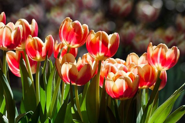 بخور الملووك  - صفحة 9 Tulip-10