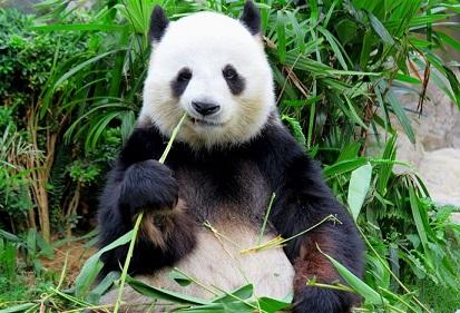 اهم معلومات عن دب الباندا 1104
