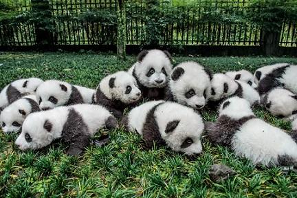 اهم معلومات عن دب الباندا 1105
