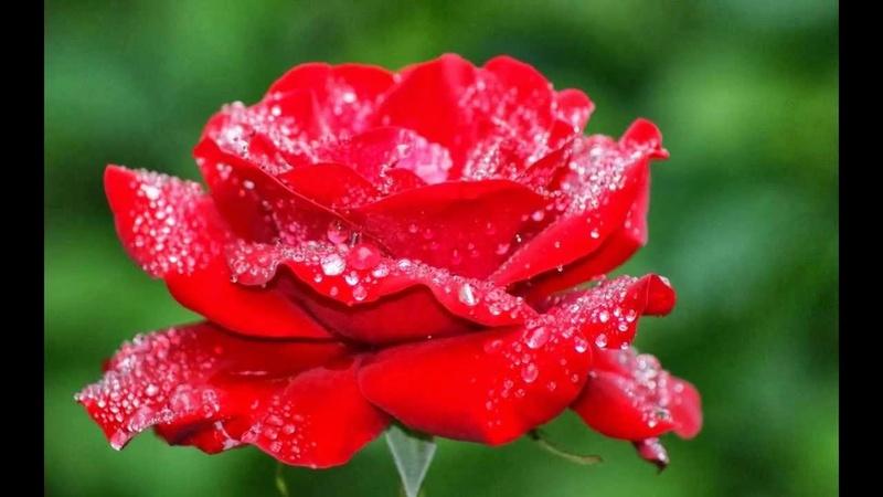 صور احلى وردة في العالم 125