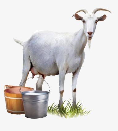 افضل فوائد حليب الماعز كاملة 159