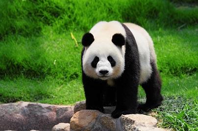 اهم معلومات عن دب الباندا 2100