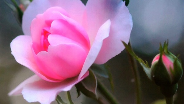 صور احلى وردة في العالم 320