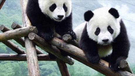 اهم معلومات عن دب الباندا 396