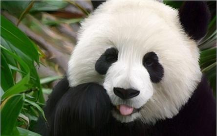 اهم معلومات عن دب الباندا 397