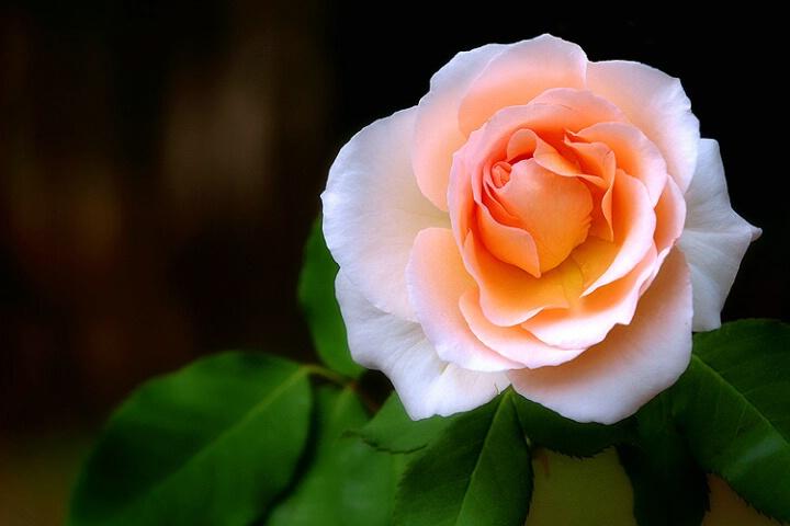 صور احلى وردة في العالم 421