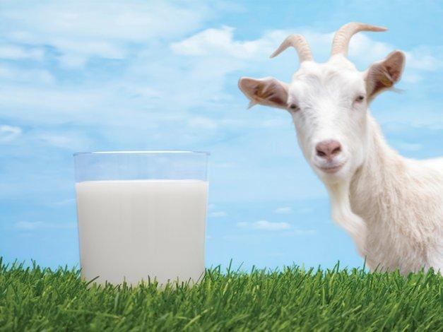 افضل فوائد حليب الماعز كاملة 449