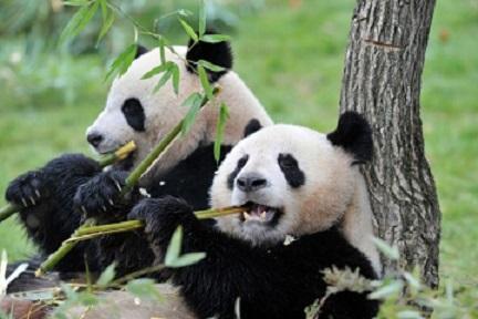 اهم معلومات عن دب الباندا 489