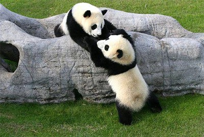 اهم معلومات عن دب الباندا 576