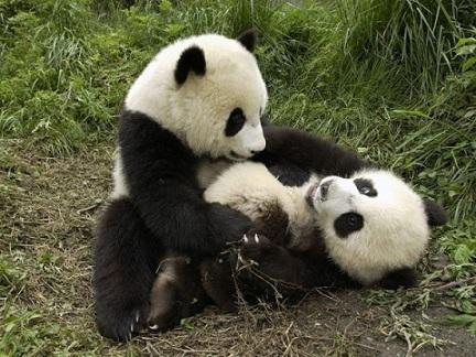 اهم معلومات عن دب الباندا 656