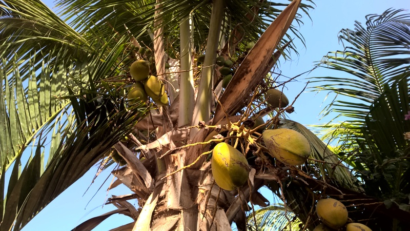 Cocos nucifera - Stránka 11 Wp_20110