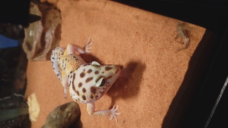 Aide gecko leopard  20180110