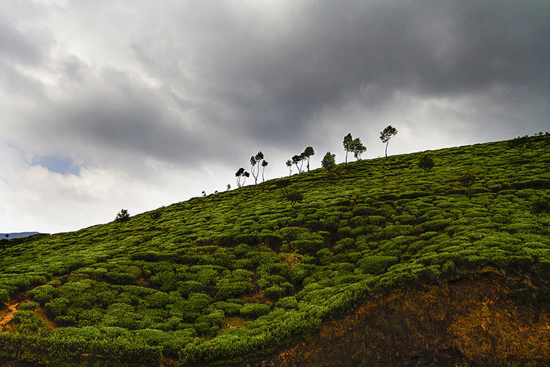 Plantation de thé (Sri-Lanka) _mg_0910
