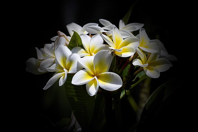 Fleurs de frangipanier  _mg_7510