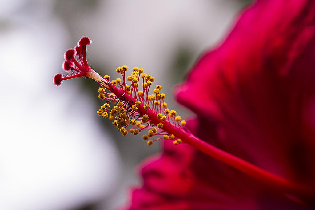 Hibiscus . _mg_7513