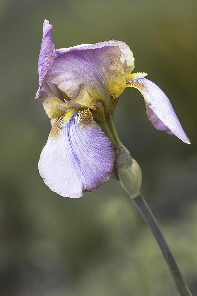 Iris ... suite et fin  _mg_8712