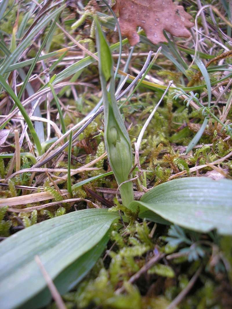 1er Ophrys 2018 à Mirepoix(09) P2042722