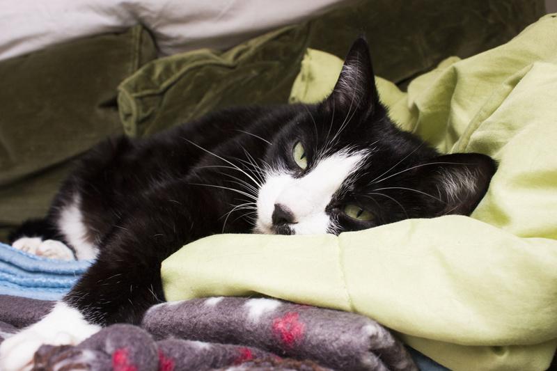 HUNA, chatte européenne Noire&blanche, née en 2012 611