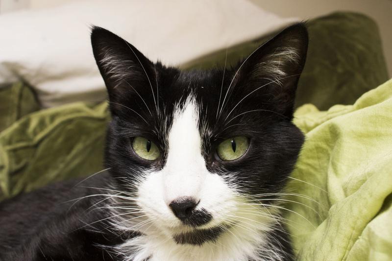 HUNA, chatte européenne Noire&blanche, née en 2012 711