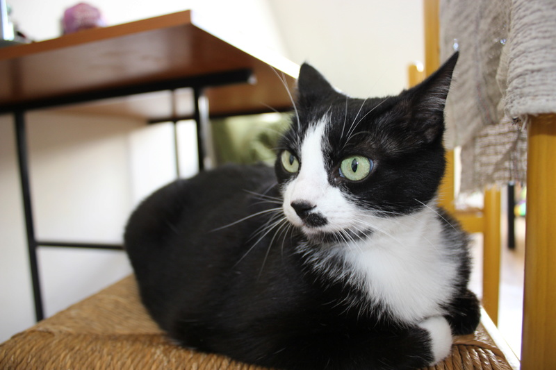 HUNA, chatte européenne Noire&blanche, née en 2012 Img_9410