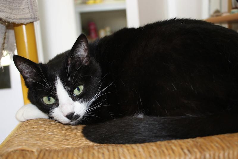 HUNA, chatte européenne Noire&blanche, née en 2012 Img_9411