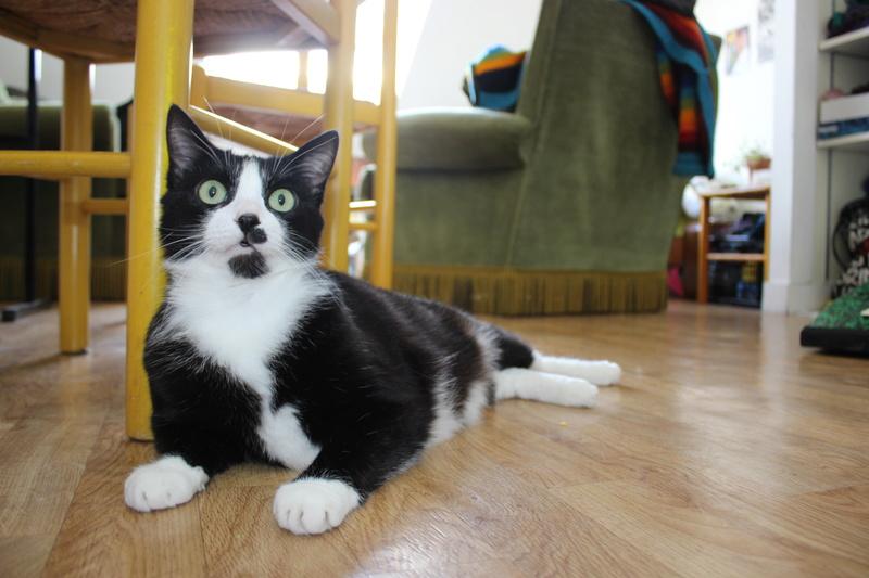 HUNA, chatte européenne Noire&blanche, née en 2012 Img_9413