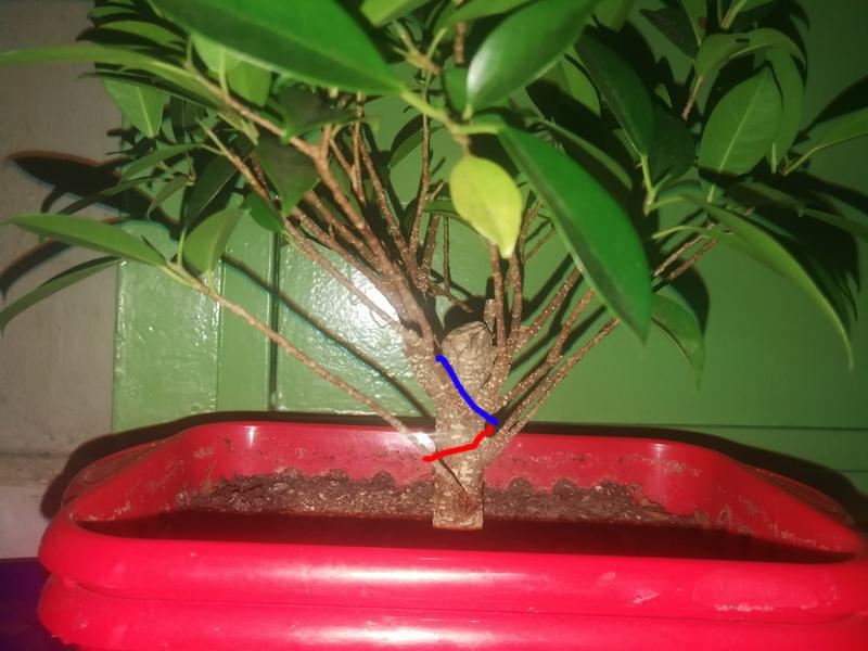 Seguimiento Ficus tigerbark (ayuda diseño) :3 Img_2010