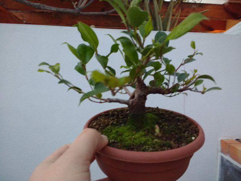Primeros pasos de un Ficus tamaño shohin Img_2012