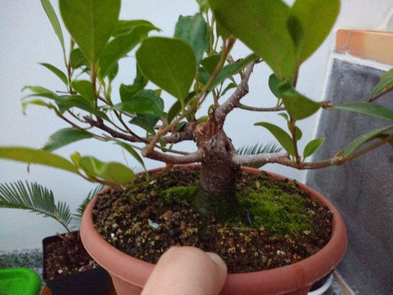 Primeros pasos de un Ficus tamaño shohin Img_2014