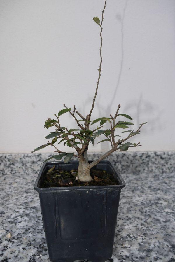 Evolución: Olmos desde semilla P1200511