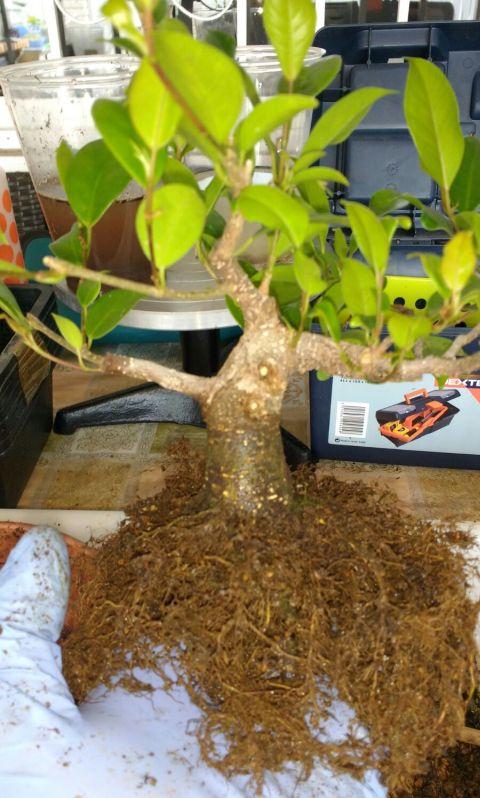 Primeros pasos de un Ficus tamaño shohin Whatsa12