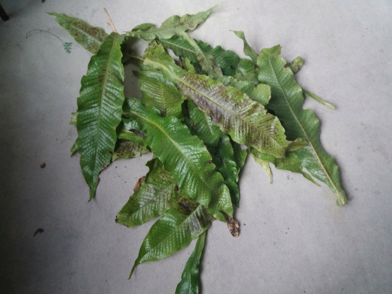 Microsorum musifolium malade!  Crocod11