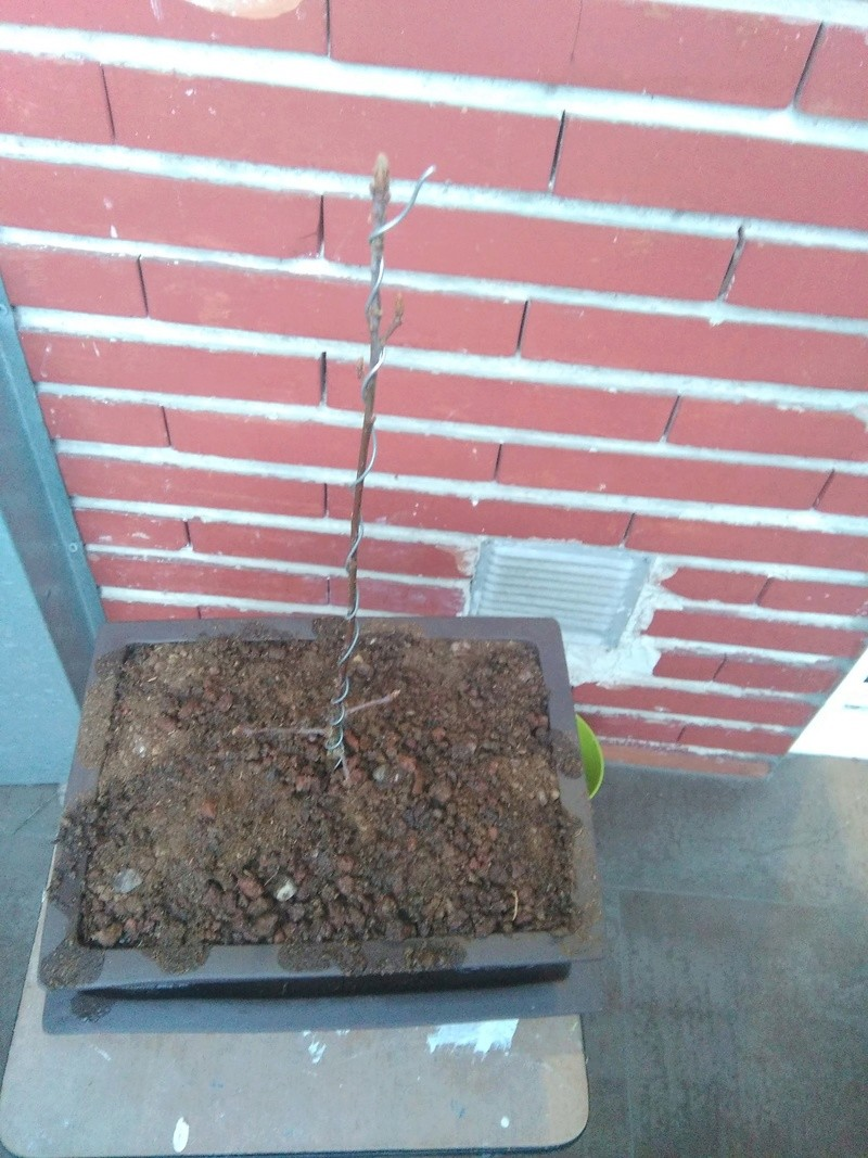 prebonsai de roble poda 2018-013