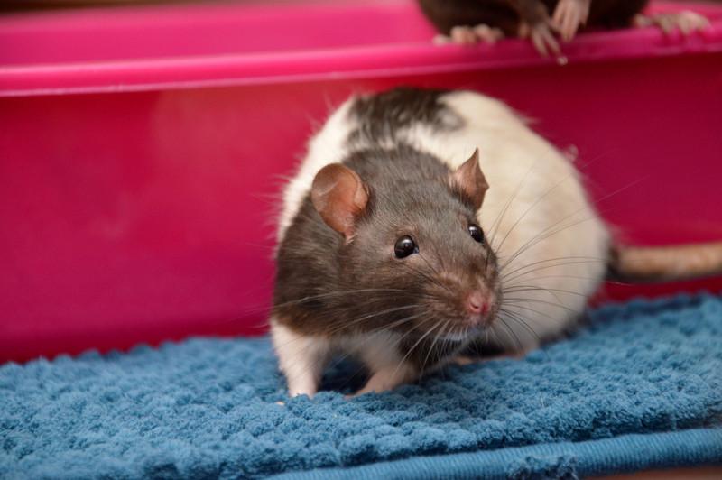 Mes petits rats d'amour 11_fyv11
