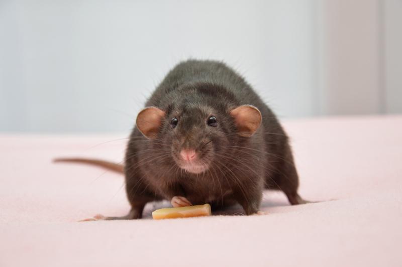 Mes petits rats d'amour 9_fyvr10