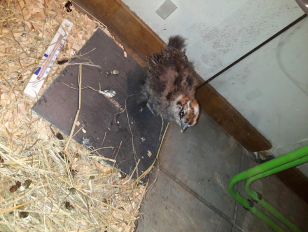 Identification poussin poule soie 20180214
