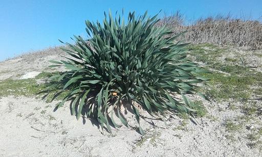 Pancratium maritimum - lis de mer, lis des sables  20161210