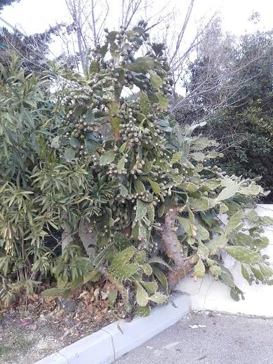 Opuntia monacantha  - Page 2 20180219