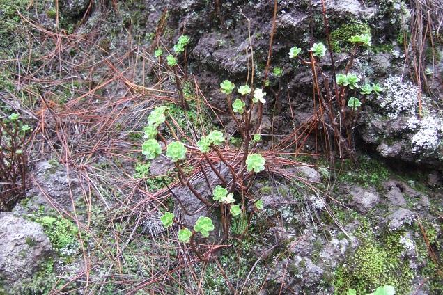 Aeonium spathulatum  Dscf0312