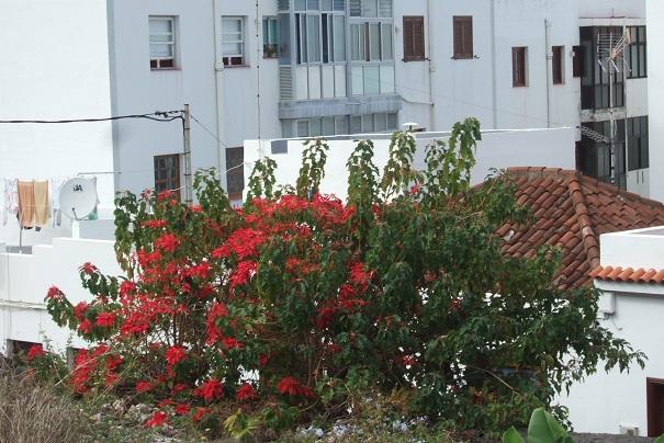 Euphorbia pulcherrima (= Poinsettia pulcherrima) - étoile de noël - Page 3 Dscf0415