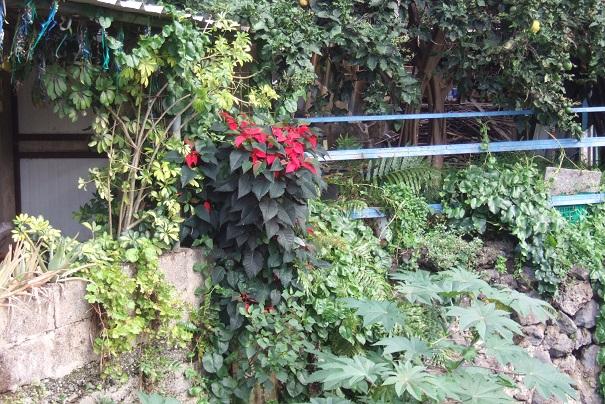 Euphorbia pulcherrima (= Poinsettia pulcherrima) - étoile de noël - Page 3 Dscf0416