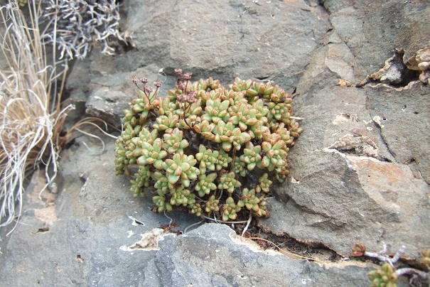 Aeonium sedifolium - aeonium à feuilles de sedum Dscf0616
