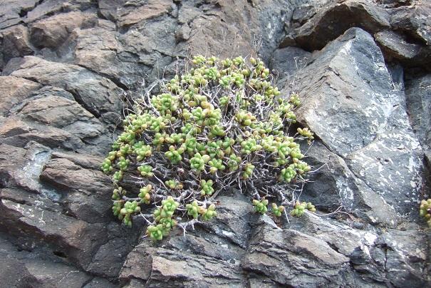 Aeonium sedifolium - aeonium à feuilles de sedum Dscf0617