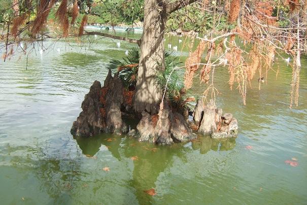 Taxodium distichum - cyprès chauve, cyprès de Louisiane  - Page 2 Dscf0817