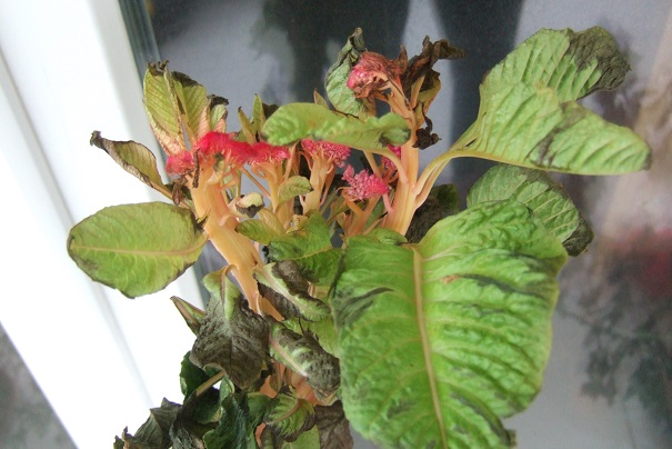 Celosia argentea var cristata - crête de coq Dscf0822