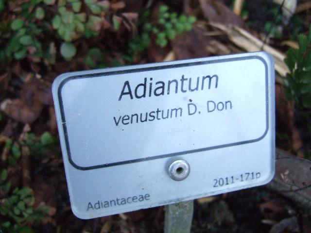 Adiantum venustum Dscf2311
